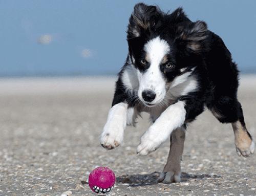 Tennisbälle und Bälle – Geeignetes Hundespielzeug?