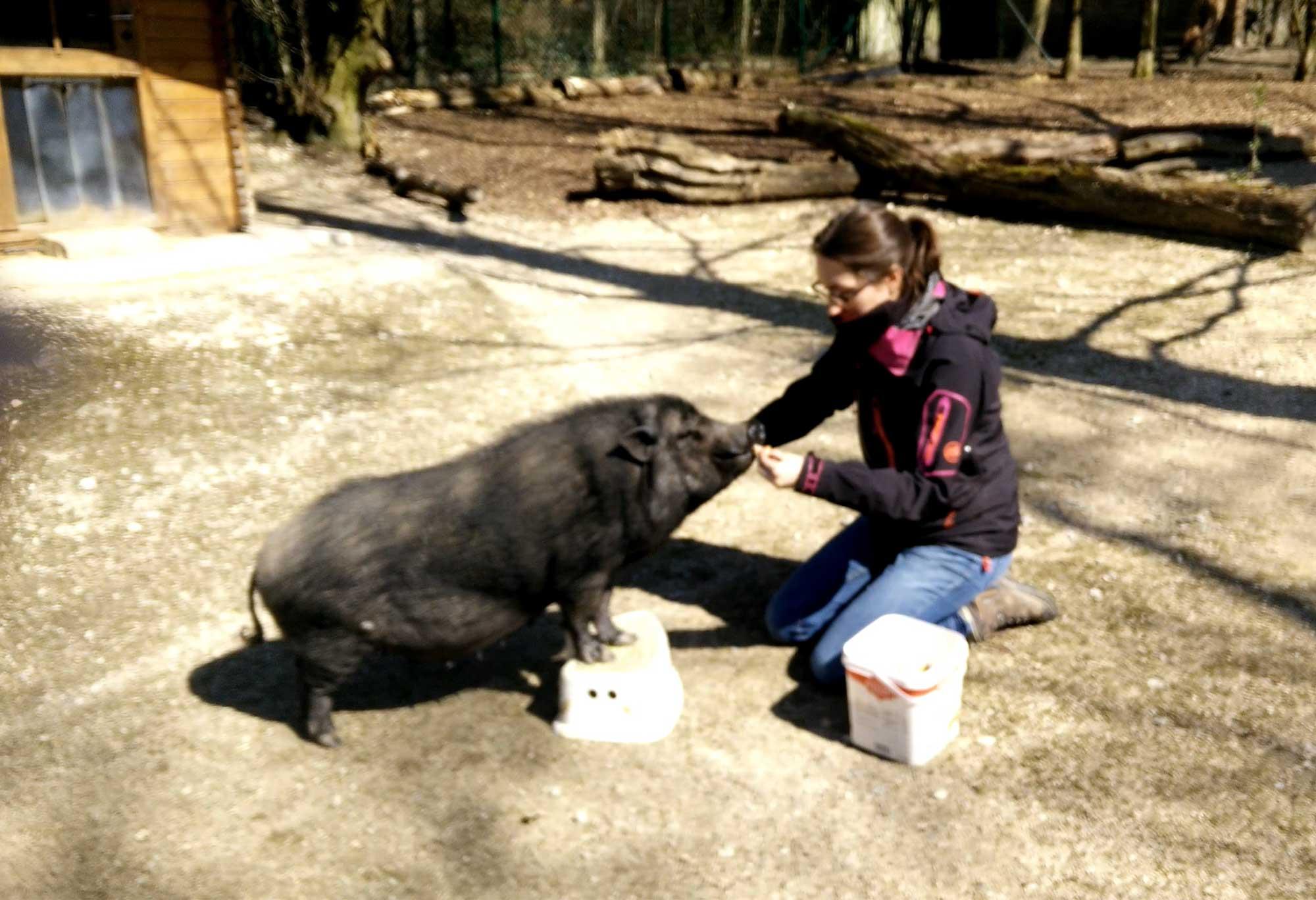 Lara beim Training eines Kooperationssignals mit einem Hängebauchschwein