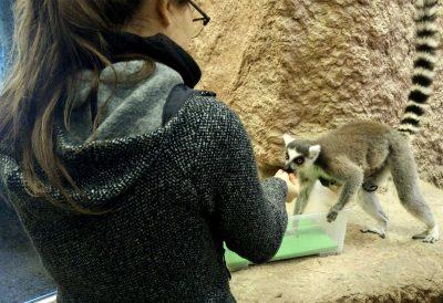 Lara beim Training mit einer Lemurenmutter mit Jungem