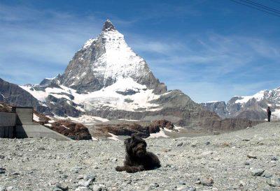 Mathilda liegt, hinter ihr das Matterhorn