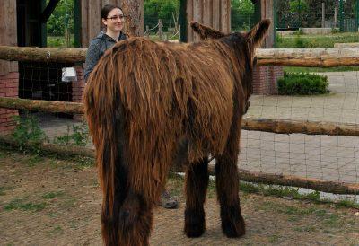 Lara mit einem Poitou-Esel