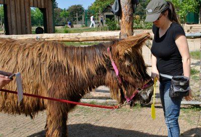 Lara beim Targettraining mit einem Poitou-Esel
