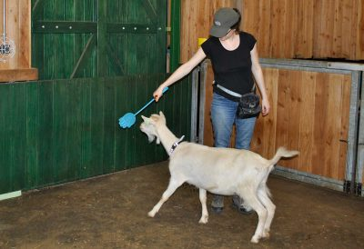 Lara beim Targettraining mit einer Ziege