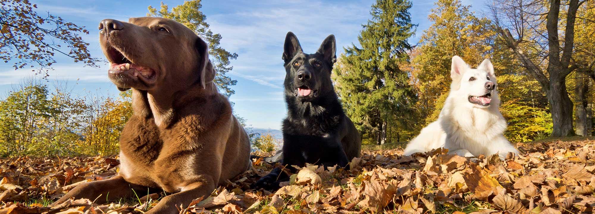 Ein brauner Labrador, ein schwarzer Schäferhund und ein weißer Schäferhund im Wald