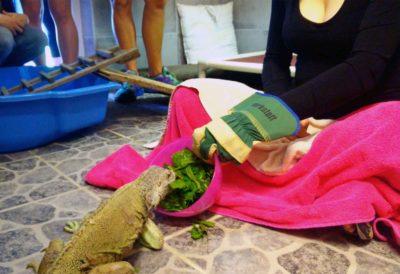 Leguan Laeticia nimmt Futter aus einer Schüssel, welche Lara in der Hand hält