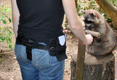 Lara beim Training mit einem Waschbären
