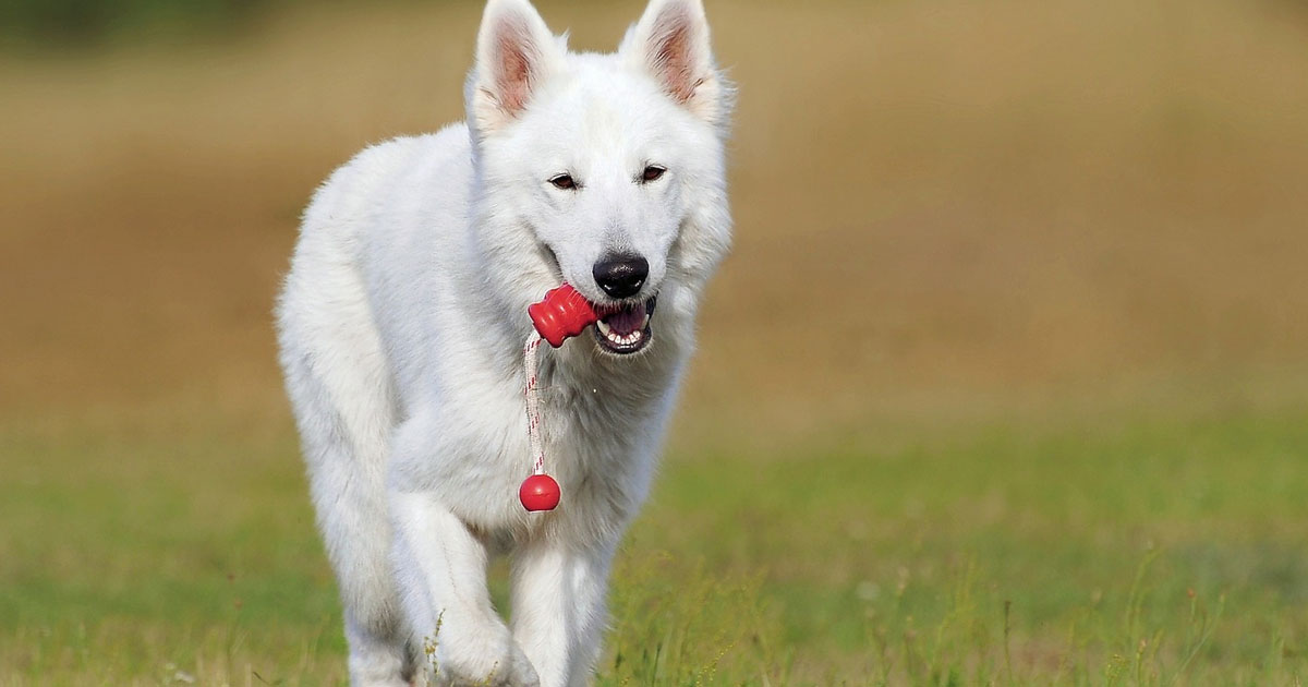 Ein Hund trägt ein Spielzeug im Maul.