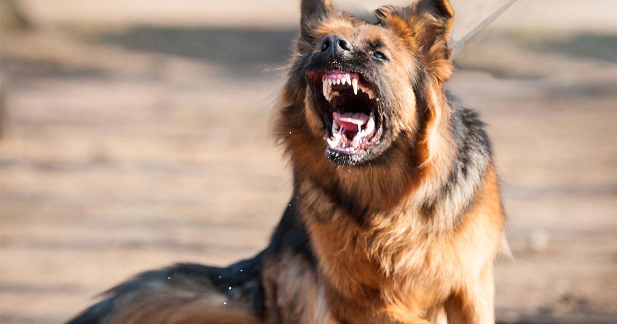 zähnefletschender Schäferhund