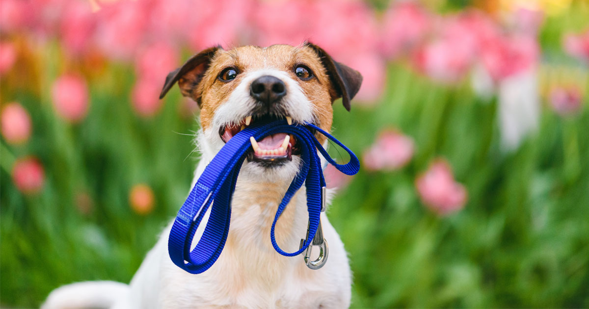 Terrier mit blauer Leine im Maul
