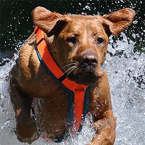 Hund im Wasser mit einem orange-türkisem Dogfellow Geschirr
